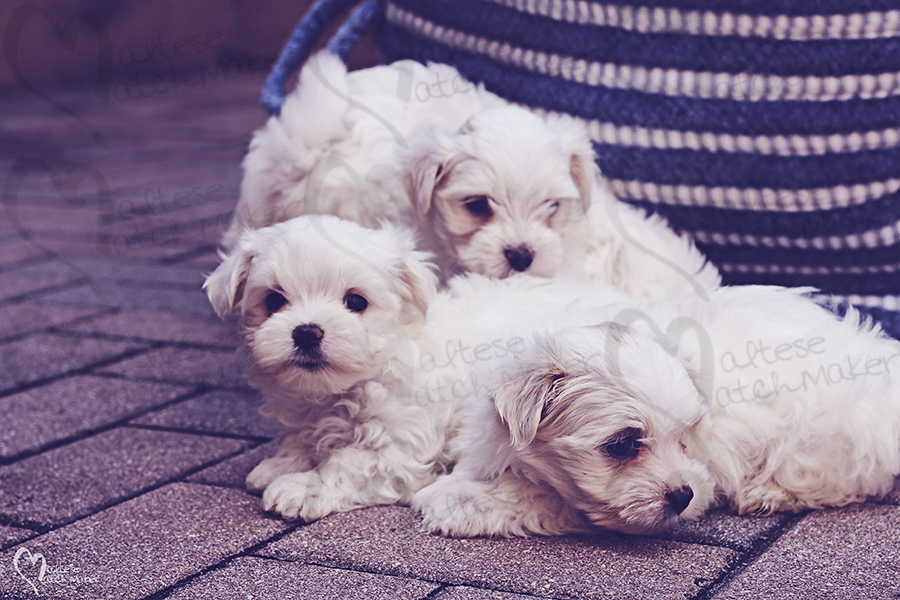 cute maltese puppies outside basket