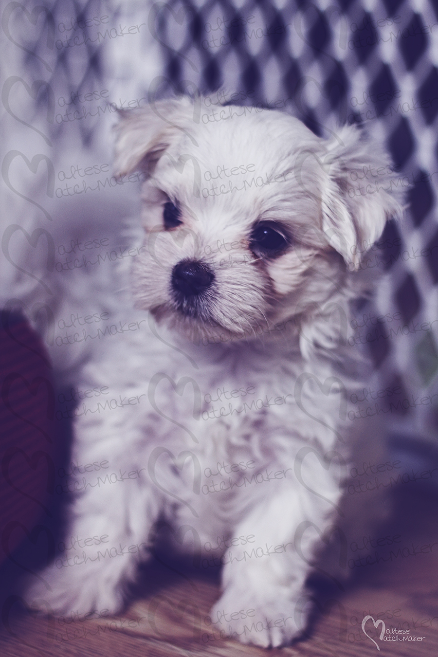 cute maltese puppy vertical Dec 2015