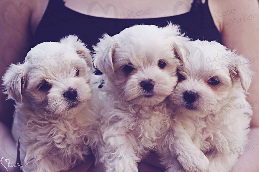 holding maltese puppies female 1