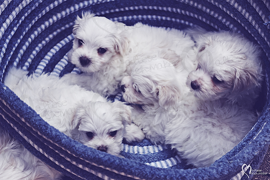 maltese puppies basket