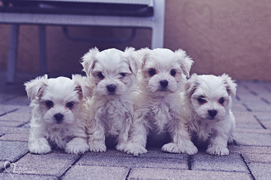 maltese puppies group female