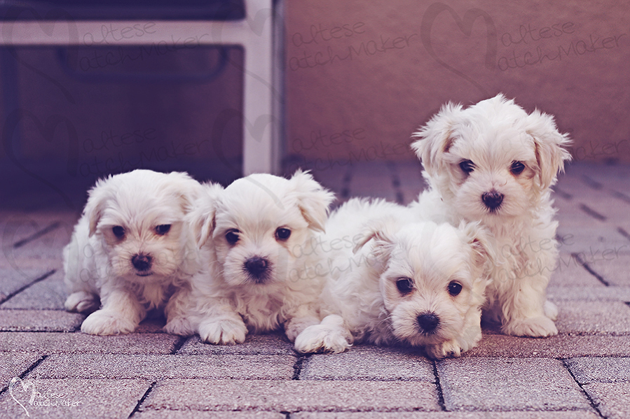maltese puppies males maltesematchmaker