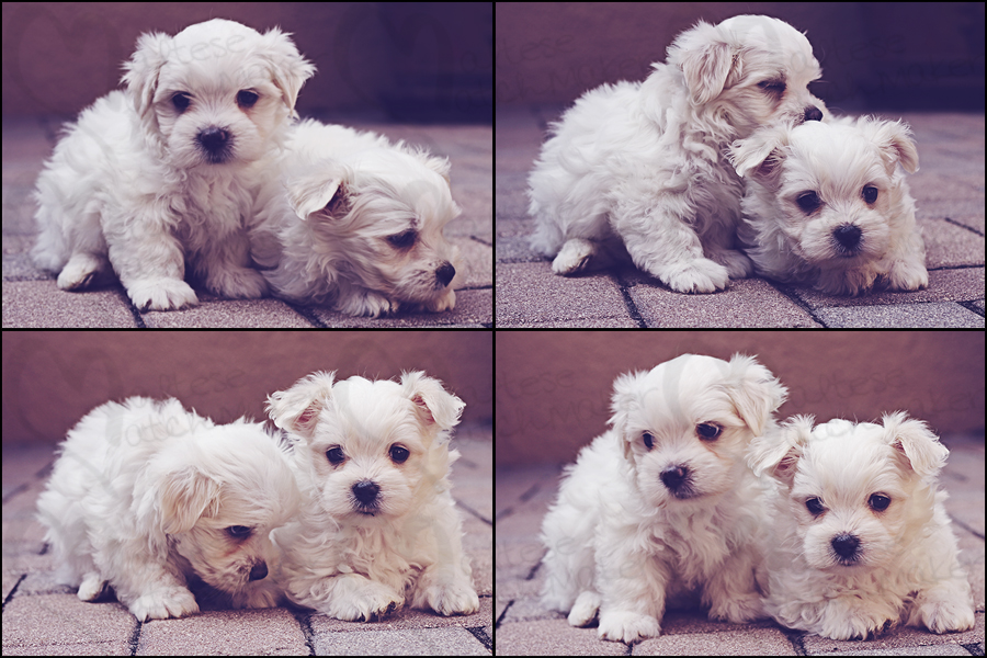 cute maltese males collage