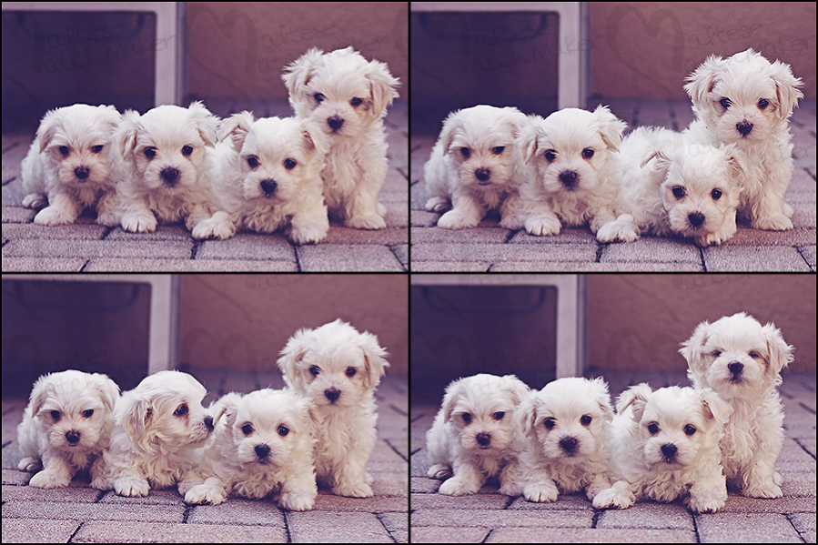 group of cute little maltese puppies mm
