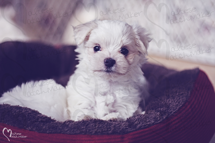 perfect little teacup maltese puppy maltesematchmaker resized