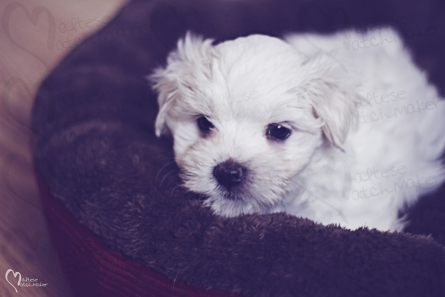 cute maltese male puppy reserved for Lisa