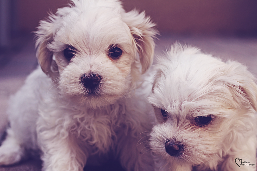 cute maltese siblings dec 2015