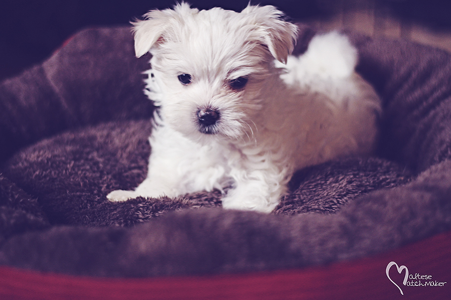 cute teacup male puppy