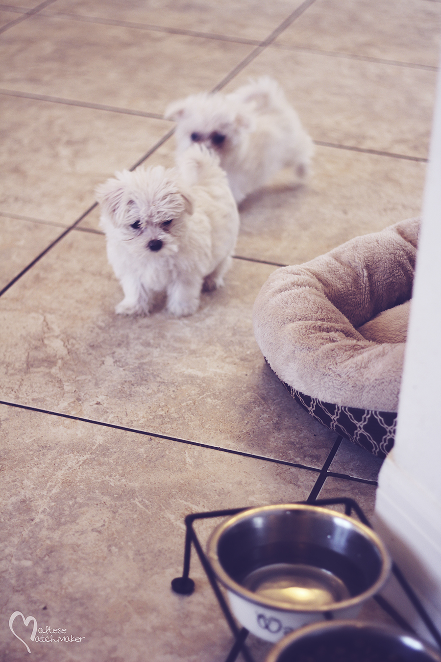 maltese puppies brother in front
