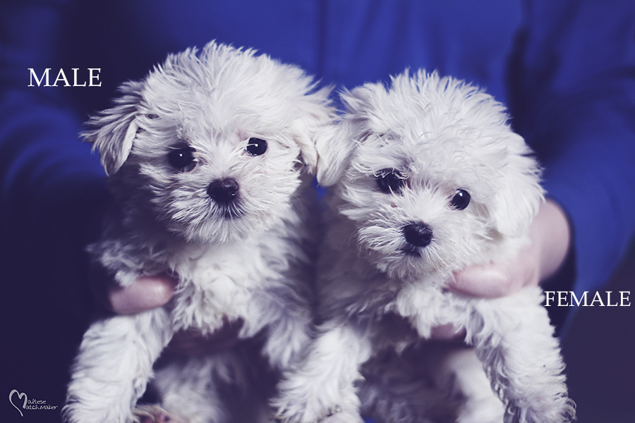 maltese puppies brother sister mm