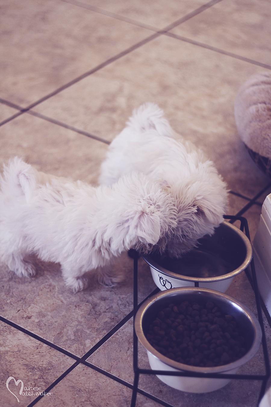 maltese puppies eating
