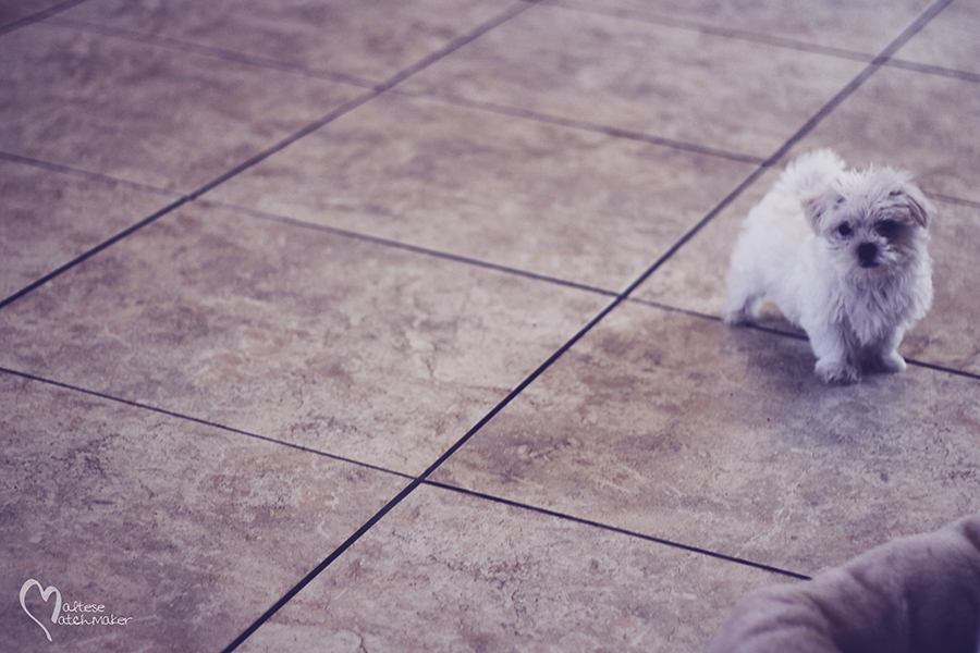 maltese puppy male cutie