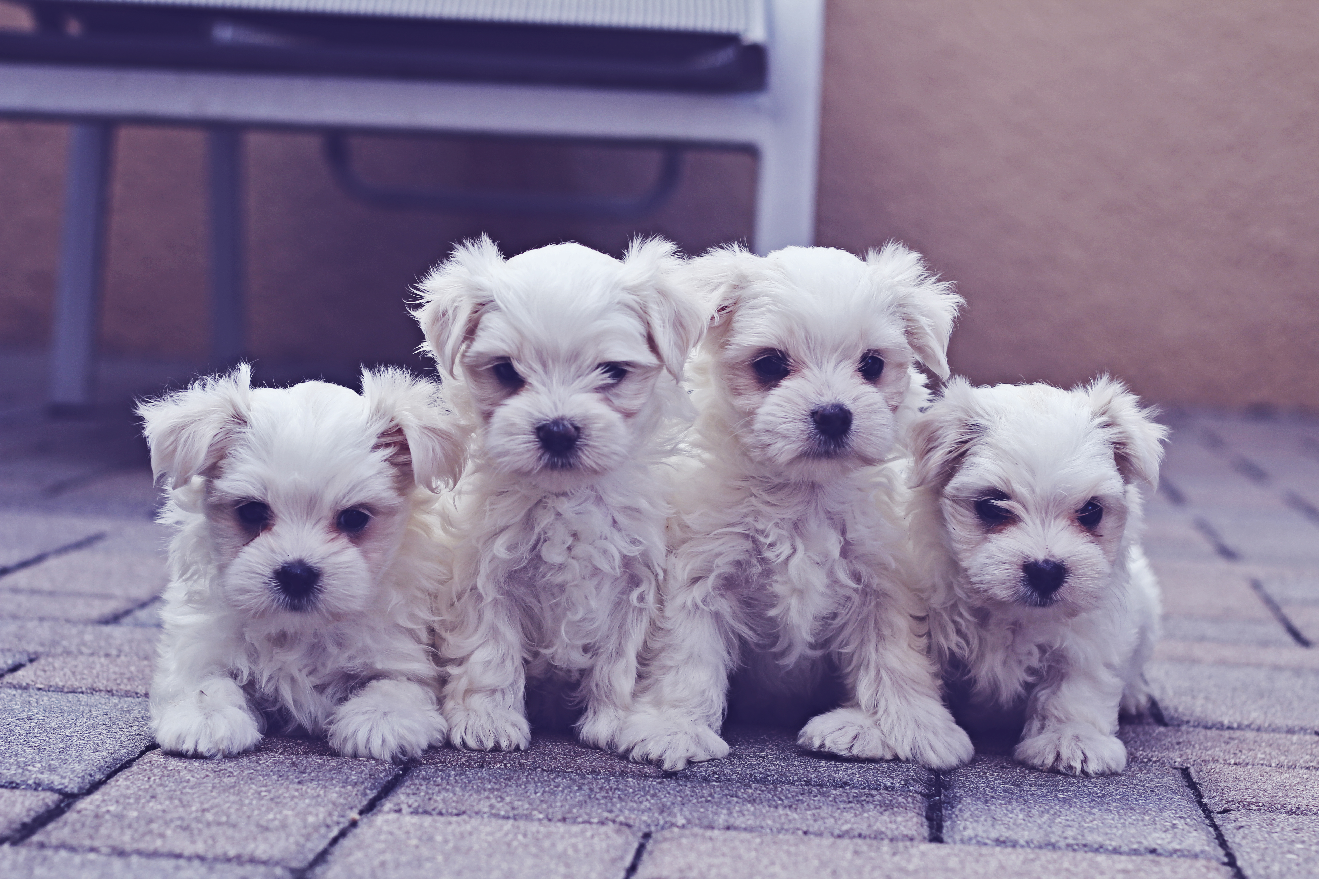 cute group of maltese puppies on pavers
