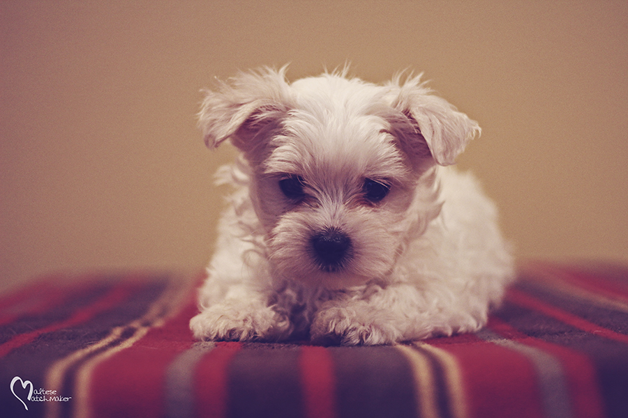 maltese male cute little cooper