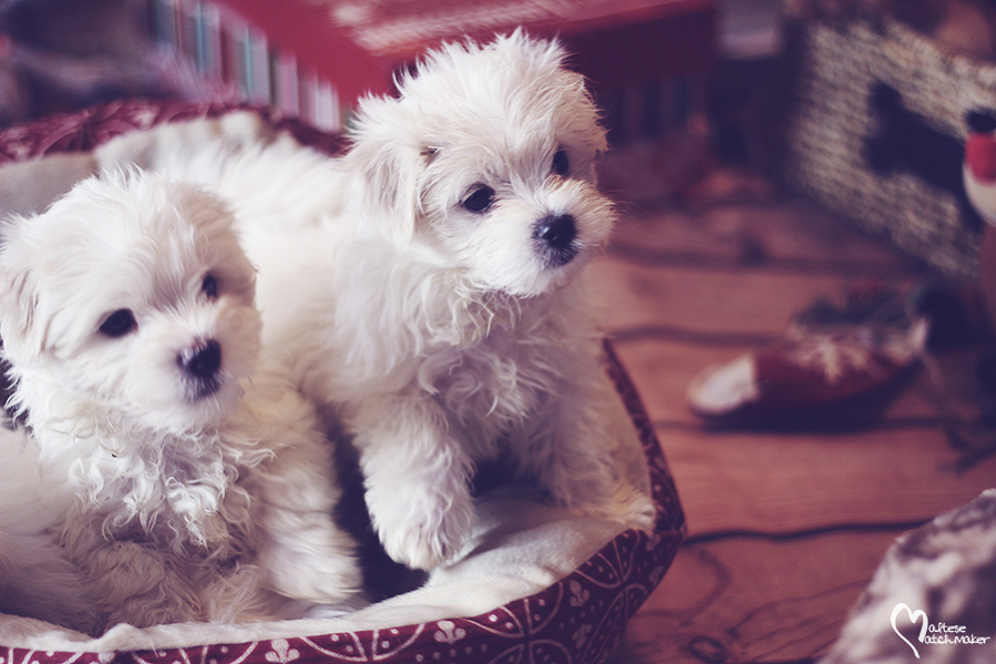 maltese-male-brothers