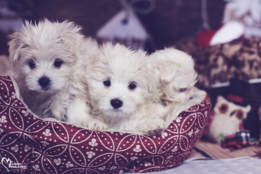 maltese-male-puppies-group-2016