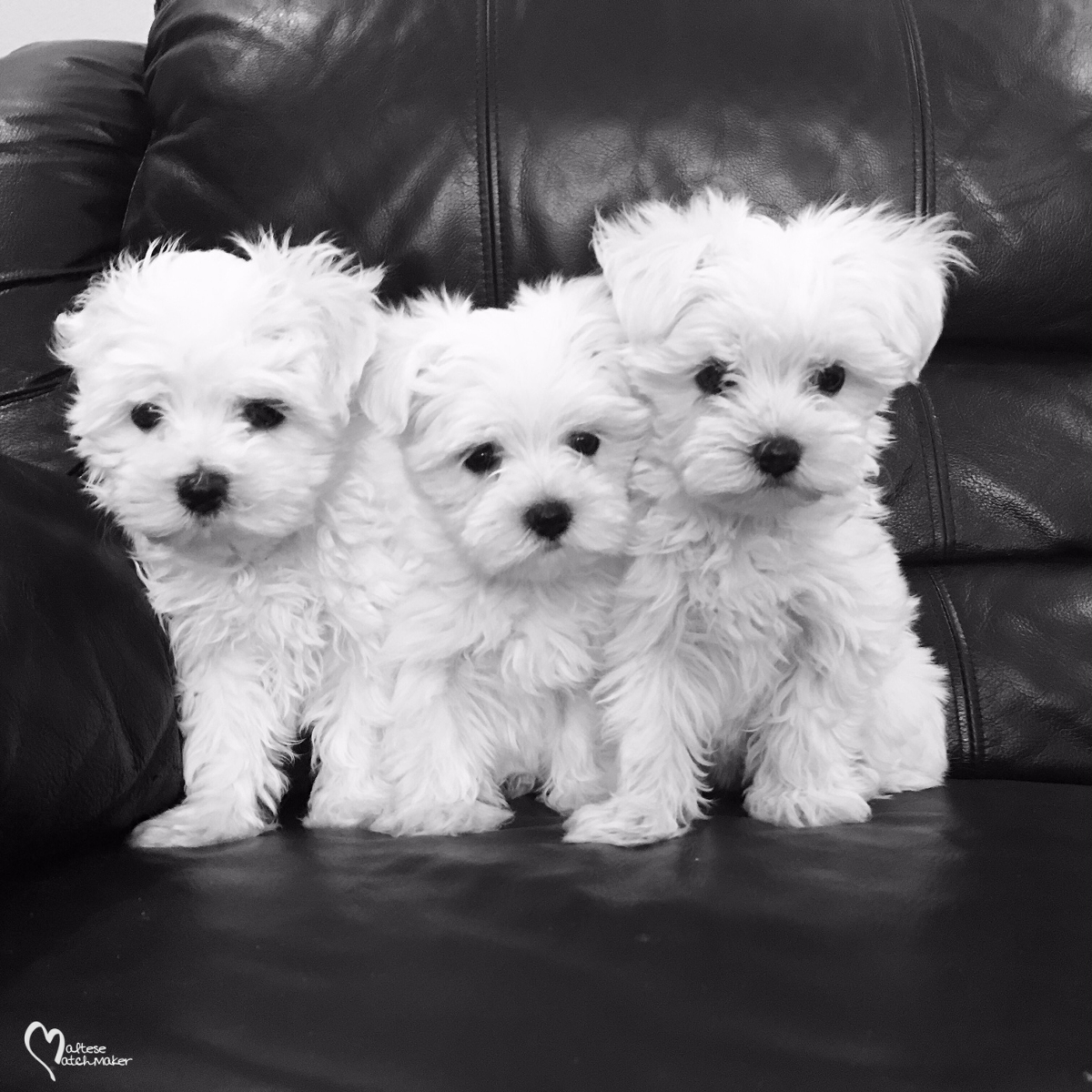 Best Food For Puppies >> Maltese Puppies available NOW June 2016 » Maltese Matchmaker