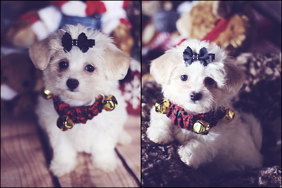 -maltese-puppy-born-sept25