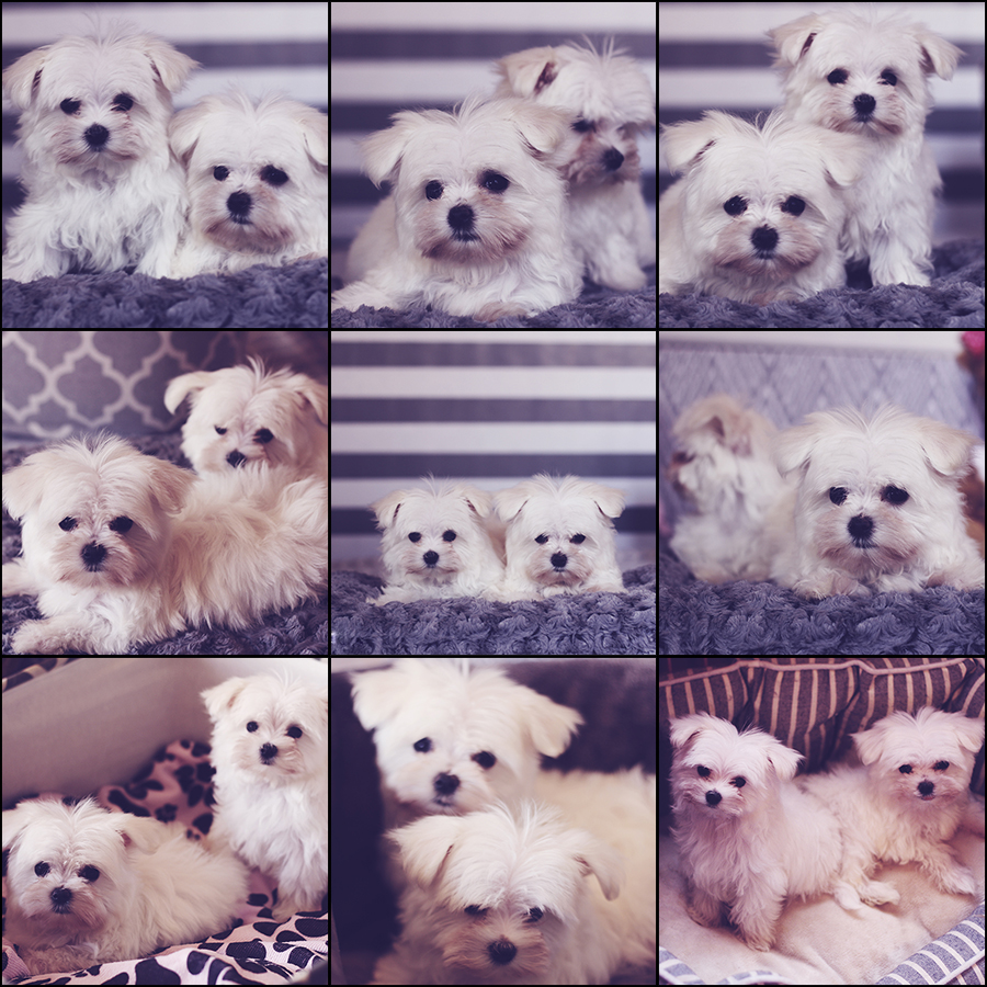 teacup-maltese-sisters-collage