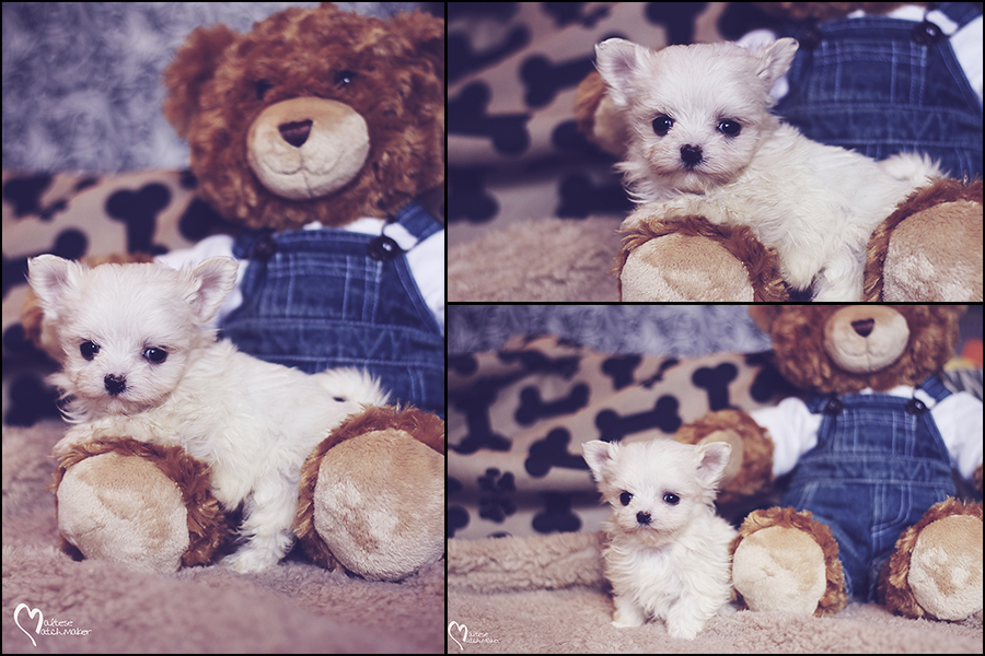 micro-male-maltese-collage-teddy-bear
