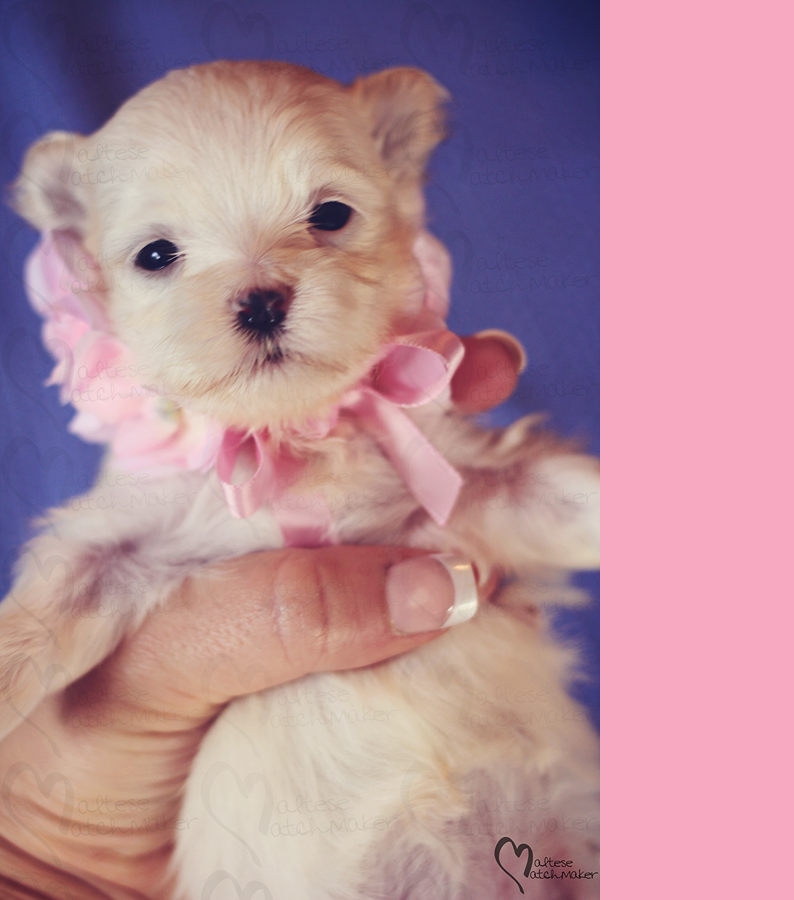 august-maltese-female-puppy-vertical-branding-bar
