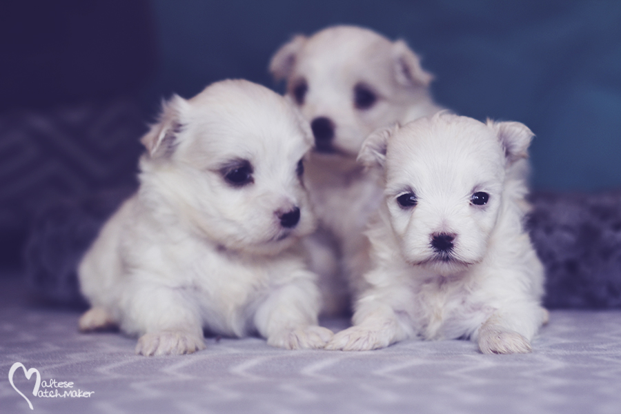 maltese-puppies-born-aug-2016-group