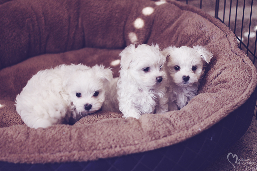 maltese-puppies-group-ready-for-home-in-novemeber