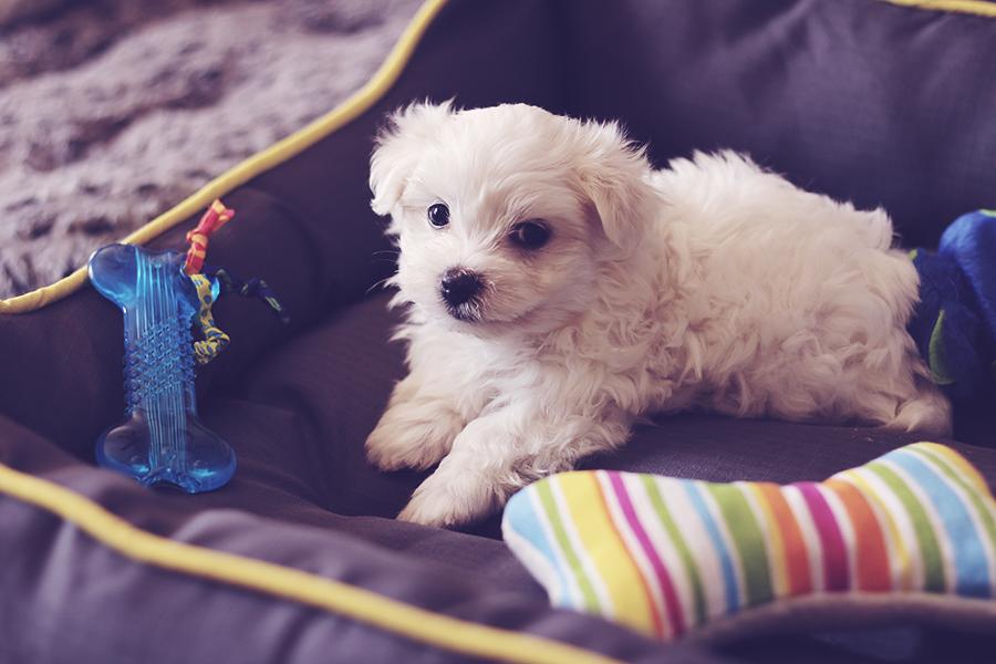 male-maltese-puppy-nov-2016