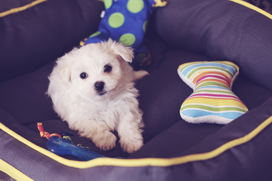 maltese-male-puppy-ready-nov-mm