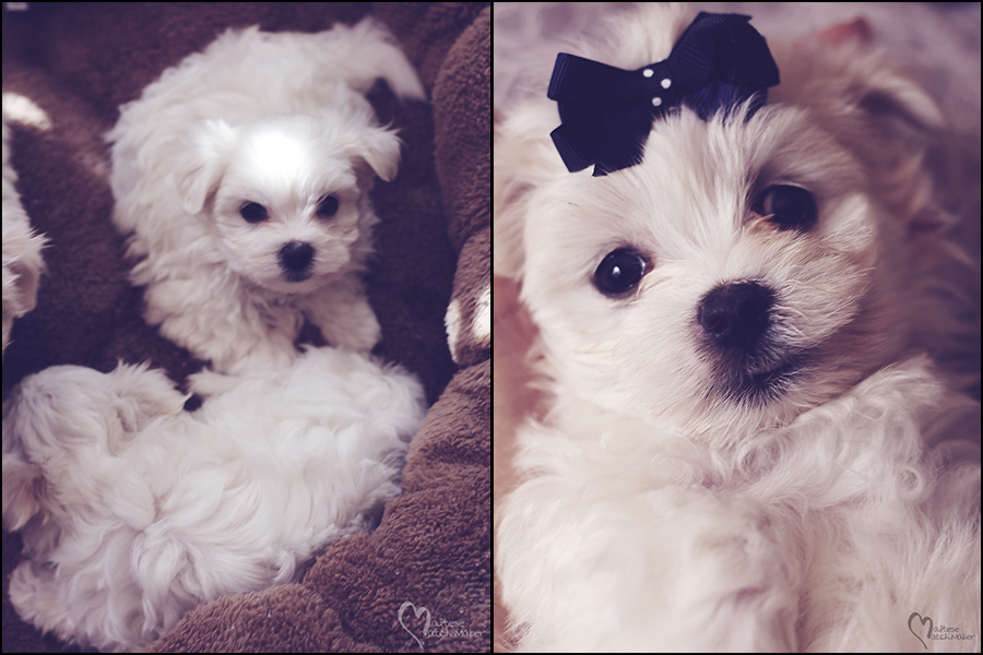 maltese-pup-collage-mm