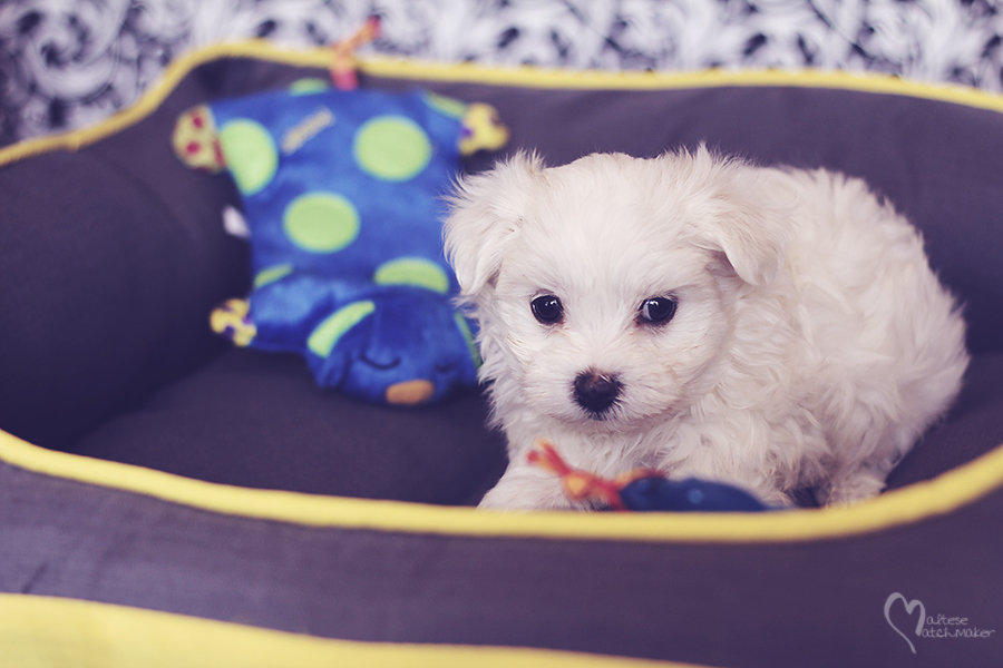 maltese-puppy-male-born-sept-15