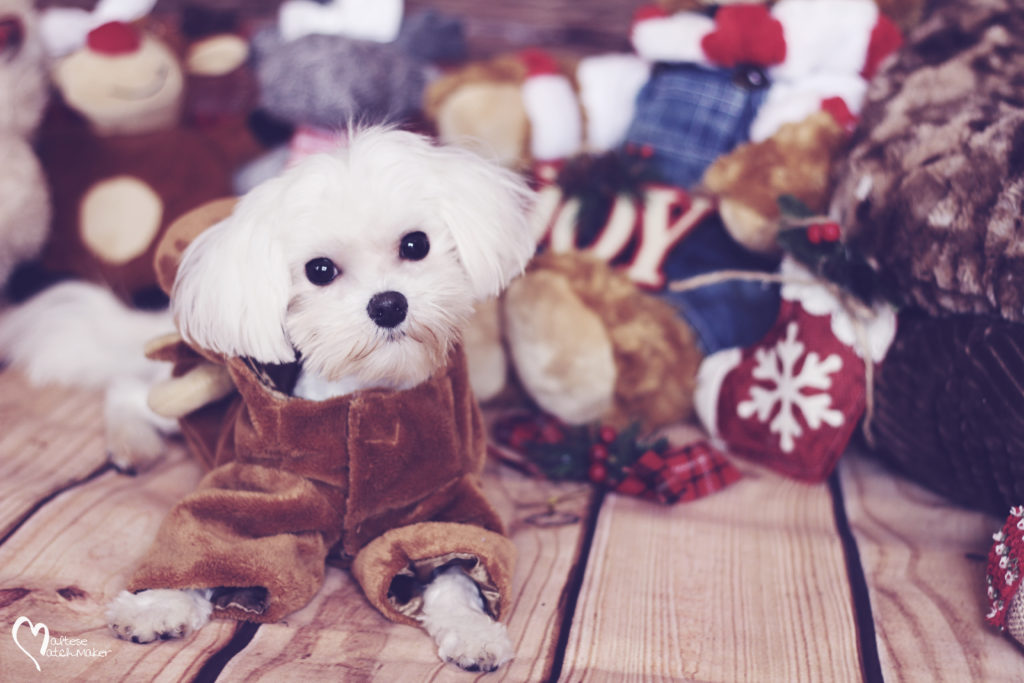 holiday maltese dog