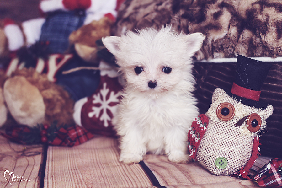 micro maltese puppy holiday