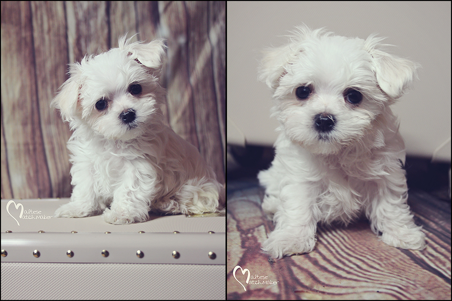 Available Puppies » Maltese Matchmaker